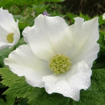 Glaucidium palmatum (white flower)