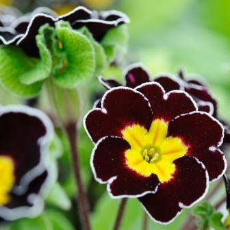 Primula Gold Laced Polyanthus Jack In The Green