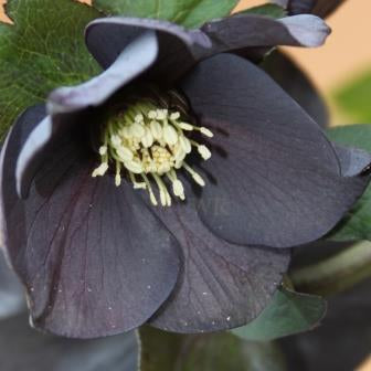 Helleborus Dark as Night