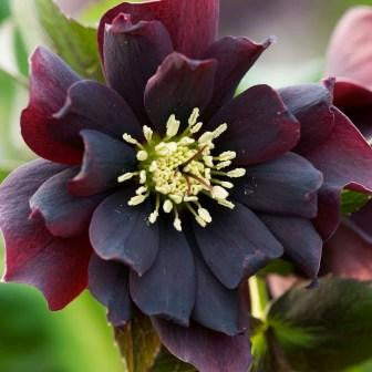 Helleborus Double Purple