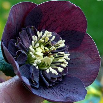 Helleborus Anemone centred dark shades