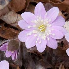 Hepatica insularis