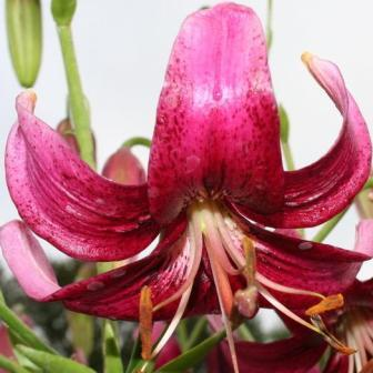 Lilium Angela North