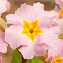 Primula polyanthus New Pinks