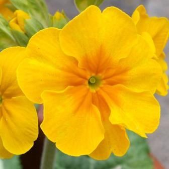 Primula polyanthus Harvest Yellows