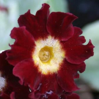 Primula auricula Old Clove Red
