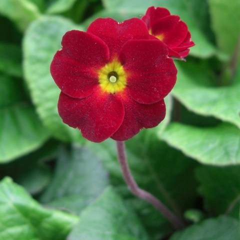 Primula polyanthus Indian Reds