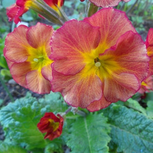 Primula polyanthus Grand Canyon