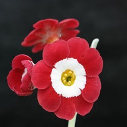 Primula auricula Simply Red