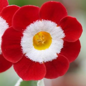 Primula auricula Fullers Red