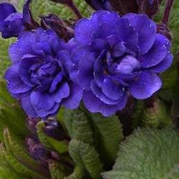 Primula vulgaris Strong Beer