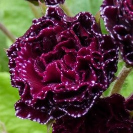 Primula vulgaris Burgundy Ice