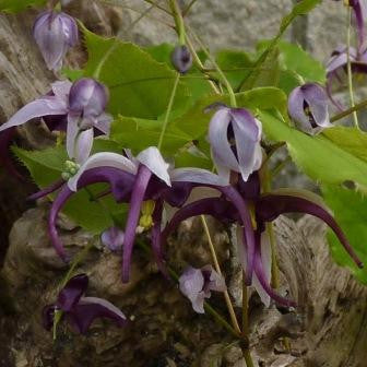 Epimedium acuminatum Night Mistress