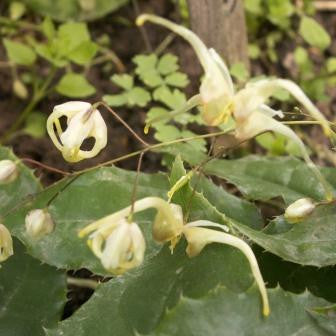 Epimedium acuminatum Yellow-flowered form