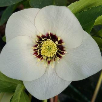 Helleborus White Basal Blotch
