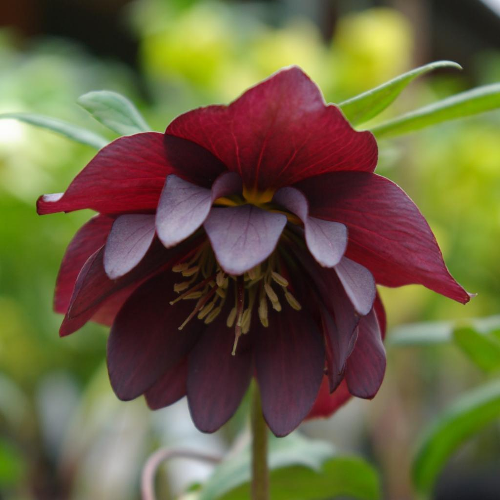 Helleborus Double Ellen Red