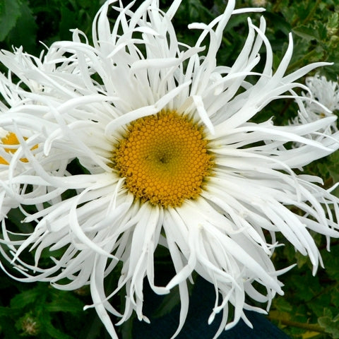 Leucanthemum Old Court Var
