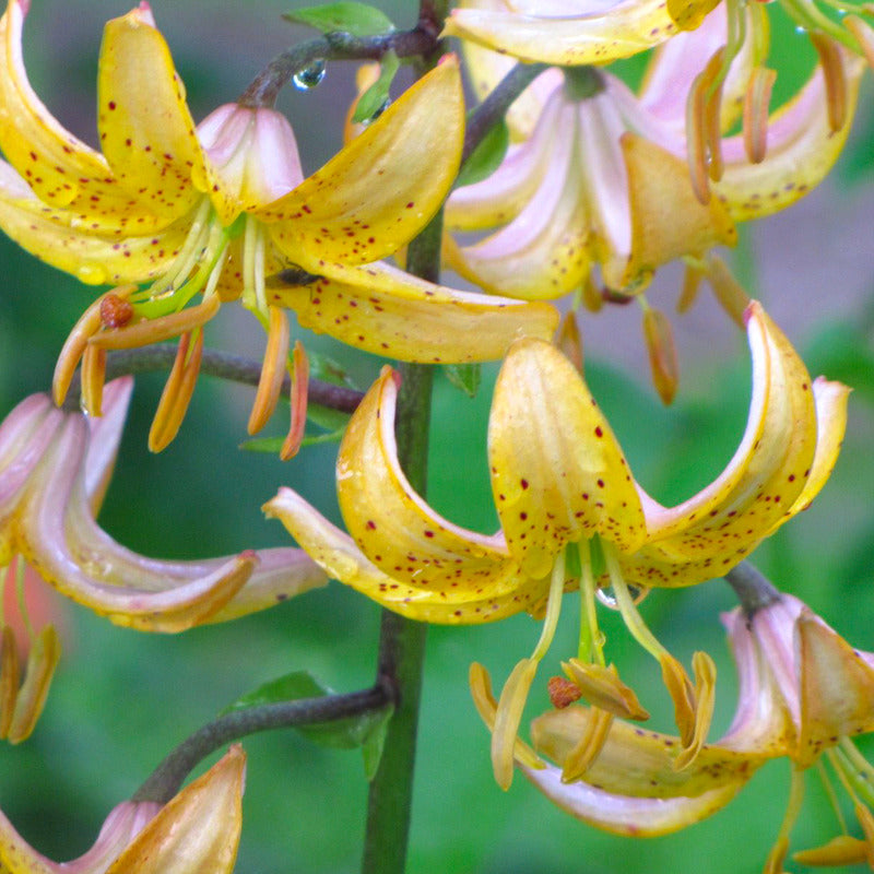 Lilium martagon Mrs R O Backhouse