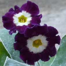 Primula auricula Old Black Isle Dusty Miller