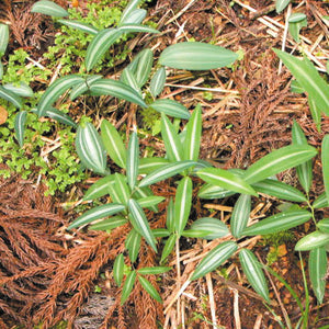 Polygonatum falcatum Silver striped