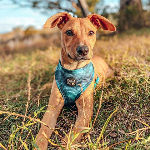 AmbassaDOG Evie in the Shell Yeah reversible harness.