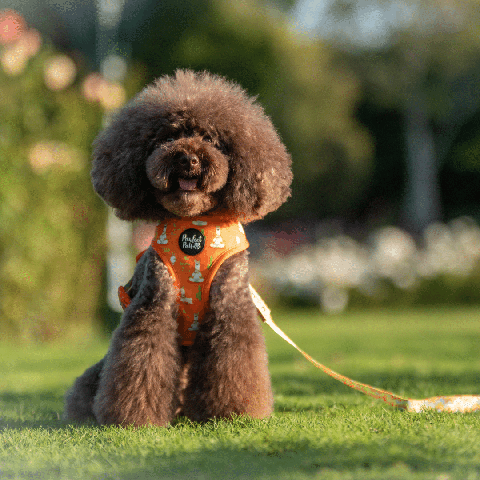 Pawfect Pals Toy Poodle in I Llama My Mama Reversible Harness