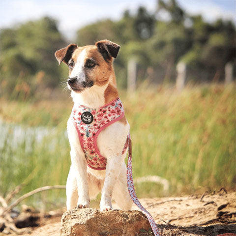 Pawfect Pals Jack Russell Terrier Wearing Pick of the Bunch Reversible Harness