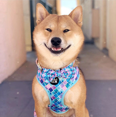 Smiling Shiba Inu in Don't Quit Your Daydream reversible harness.
