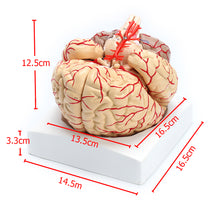 Load image into Gallery viewer, 1:1 Life Size Scientific Human Brain Arteries Anatomical Model