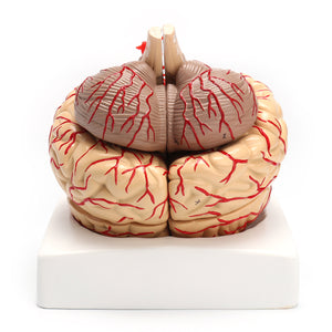 1:1 Life Size Scientific Human Brain Arteries Anatomical Model