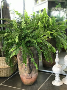Boston Fern Head