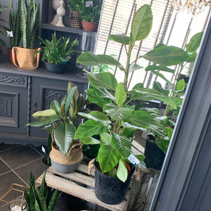 Fiddle - Leaf Fig