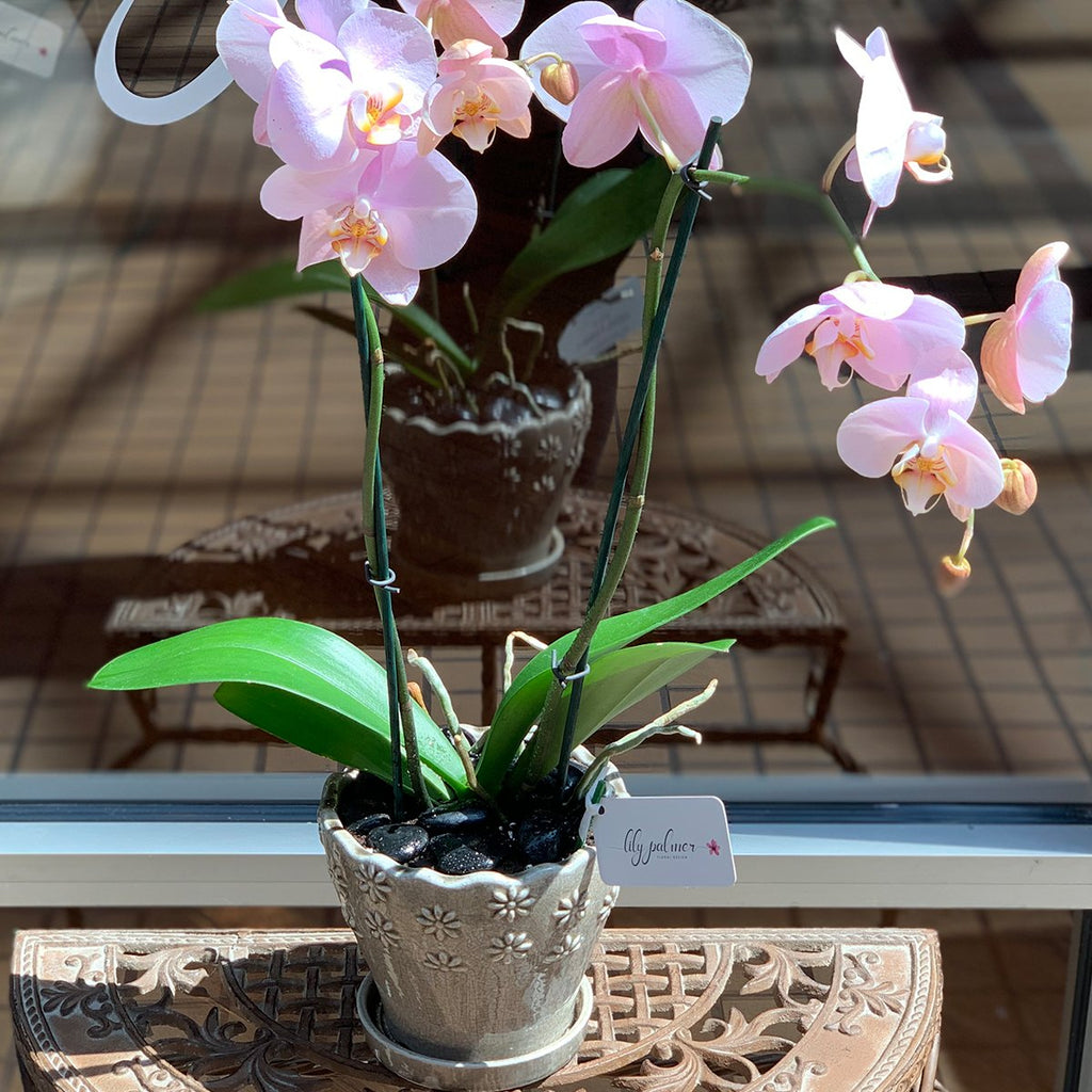 Pageant Pink Orchid