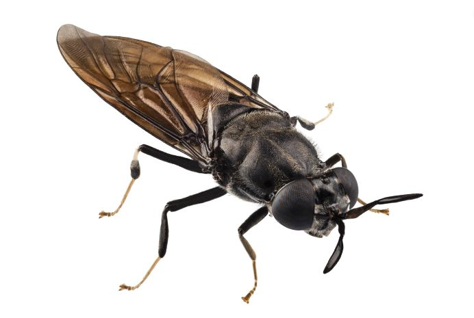 Black Flies: The Buzzing Pest
