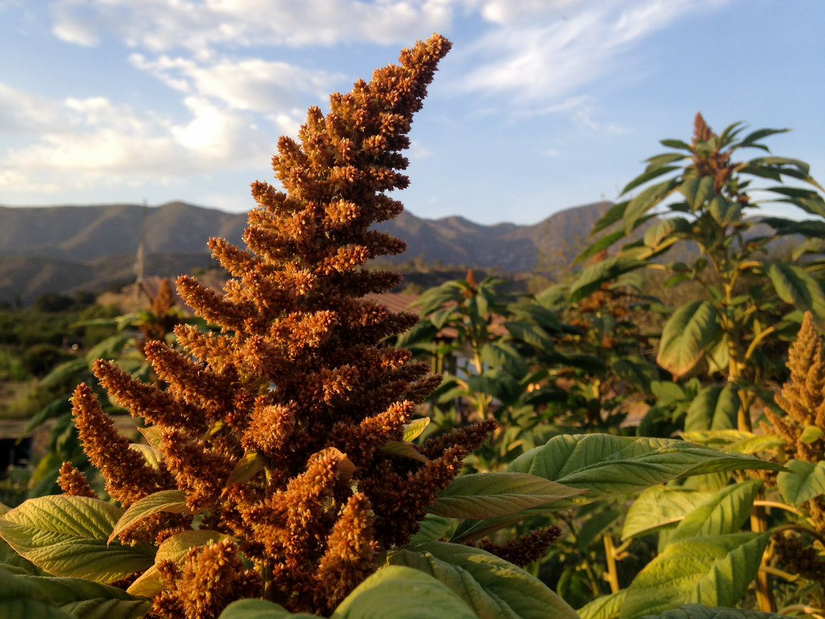 Chinese Giant Orange Amaranth