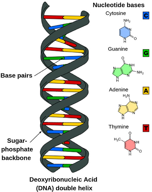 Two strands of DNA pairing together
