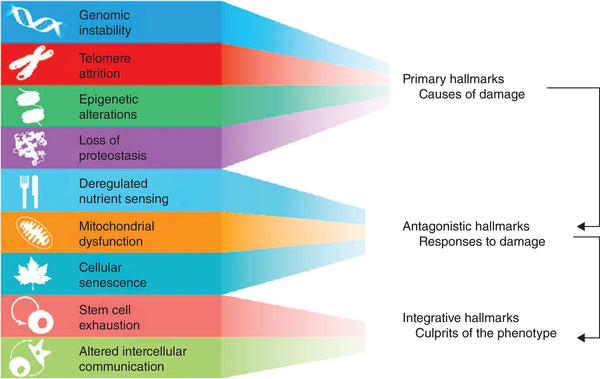 Functional Interconnections between the Hallmarks of Ageing