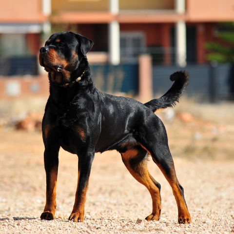 Facts About Rottweiler - Paws and Me