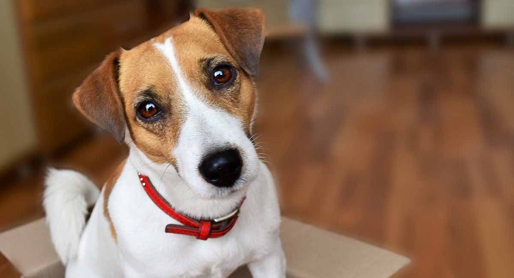 A Pet Dog- Jack Russell Terrier