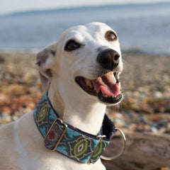 Abby the Whippet smiling at the camera wearing a Classic Hound martingale dog collar