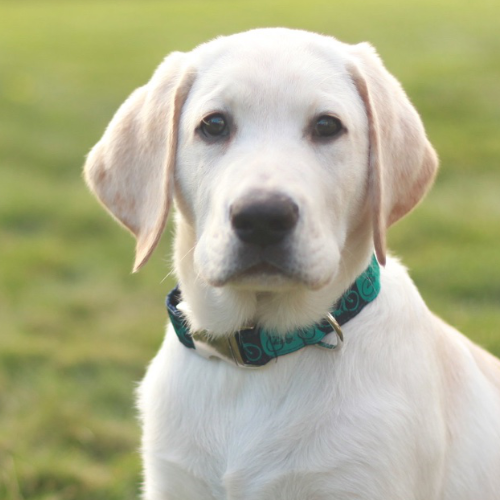 Yellow Lab Wearing Buckle Collar
