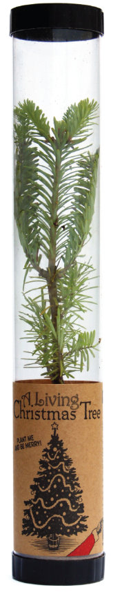 Living Christmas Tree (Balsam Fir) (Qty. 6)