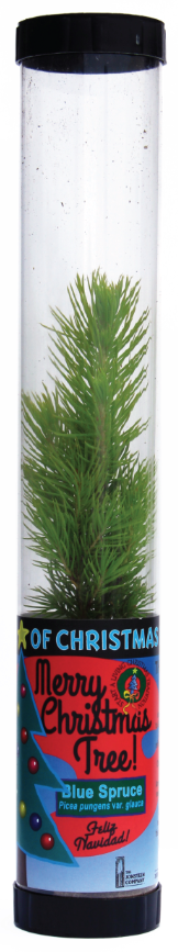 Living Christmas Tree (Blue Spruce) (Qty. 6)