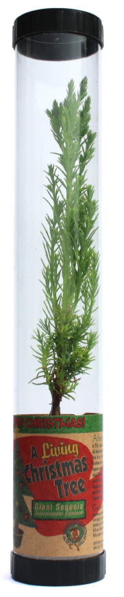 Living Christmas Tree (Giant Sequoia) (Qty. 6)