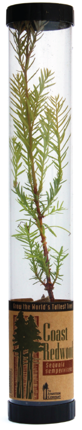 Coast Redwood Live Tree (Qty. 6)