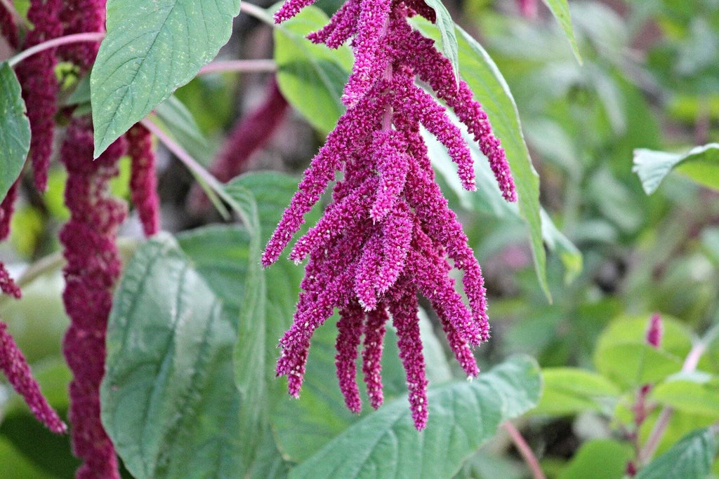 The Benefits Of Amaranth (+ Why We Put It In Literally Everything)