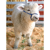 Alpaca/Sheep/Miniature Rope Halter