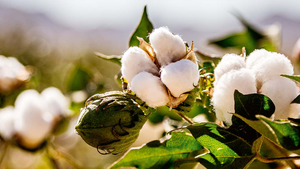 Organic Cotton vs Conventional Cotton: A Retrospect