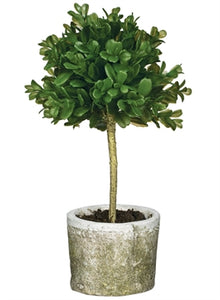 Boxwood Topiary Single