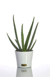 Home Statements - Aloe Vera Plant